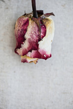 Withered Old Rose On Linen Background