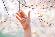 Hands Reaching To White Blossoms Tree