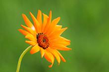 Orange African Daisy