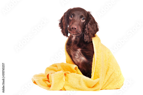 Foto Pretty puppy in a towel after bathing isolated on white