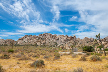 Joshua Trees In Joshua Tree National Park Near Yucca Valley, California CA, USA.