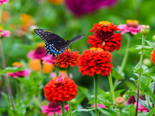 Black Swallowtail Butterfly Co...