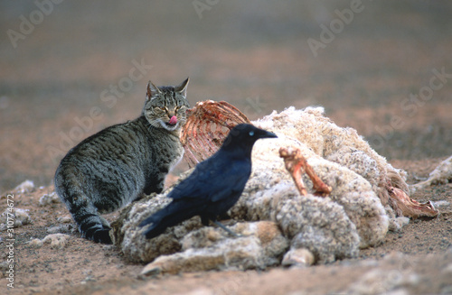 Photo  Feral wild cat feeding on a road kill in the outback of Australia