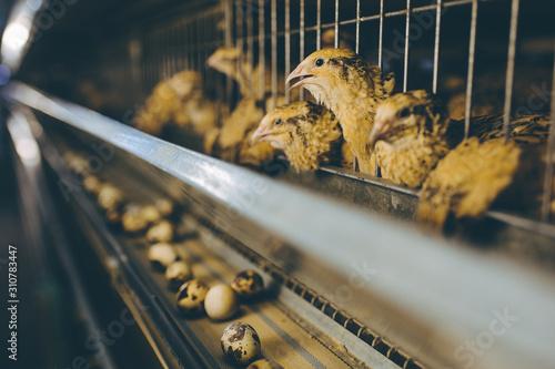 Slika na platnu quail bird farm egg cage organic animal poultry