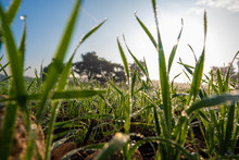 Blades Of Grass Covered With M...
