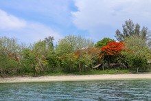 Pohon Natal Desember On An Island In Indonesia. Delonix Regia Is A Species Of Flowering Plant In The Bean Family Fabaceae. Flowers Of A Flame Tree. Multi-colored Vibrant Summertime Outdoors.