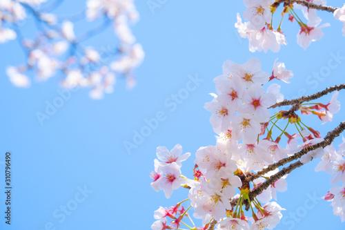 写真素材:桜 ソメイヨシノ 満開 アップ コピースペース Canvas Print