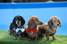 Swimming Puppies In Swimming Pool