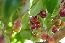 Fresh Wax Apple Fruit