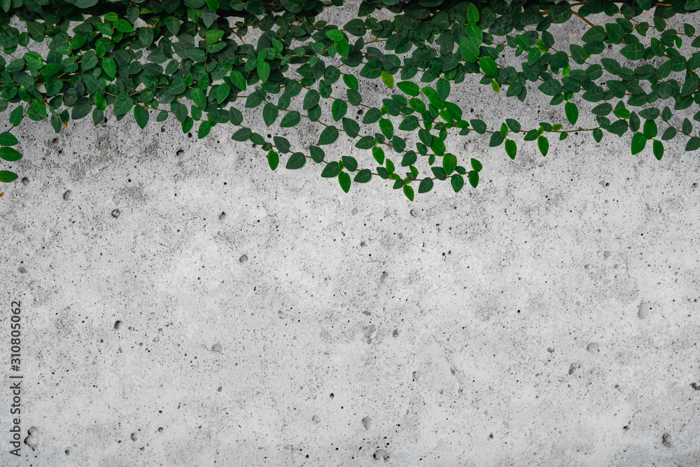 Green ivy leaves on cement wall background.