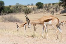 Springbok Or Springbuck (Antid...
