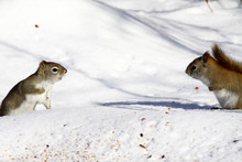 Two Squirrels Collect Grains In The Snow