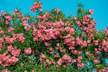 Lots Of Pink Flowers On Trees Against Blue Sky