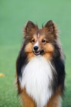 Smart Dog, Border Collie