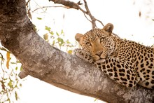 Closeup Shot Of A Leopard Layi...