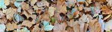 Autumn Leaves Background. Dry Platanus Leaf Background