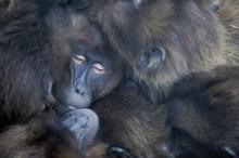 Closeup Shot Of Baboons Sleepi...