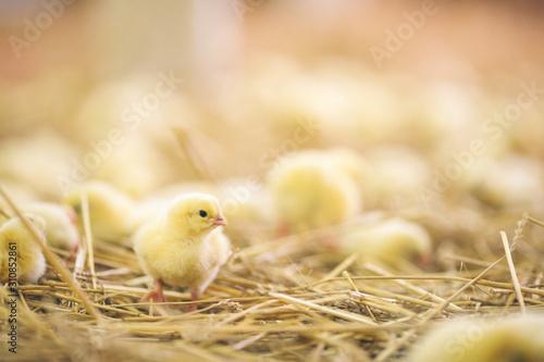 Baby chicks at farm Fototapeta