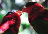 Fototapeta Tęcza - papugi