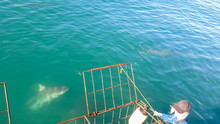 Close Up Shot Large Shark Next To White Shark Cage Diving In South Africa Scary Extreme View