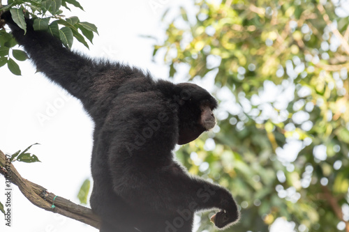 Photo The siamang is an arboreal black-furred gibbon native to the forests of Indonesia, Malaysia and Thailand