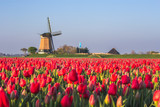 Fototapeta Tulips - Windmill and tulips fields, Alkmaar polder, Netherlands