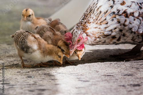 Vászonkép animaux poule poussins