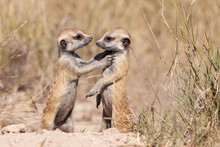 Meercats Playing In African Savannah