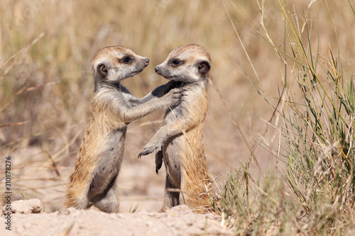 Fototapeta meercats playing in african savannah