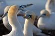 canvas print picture - Basstölpel Brutpaar beim Schnabelfechten, Helgoland