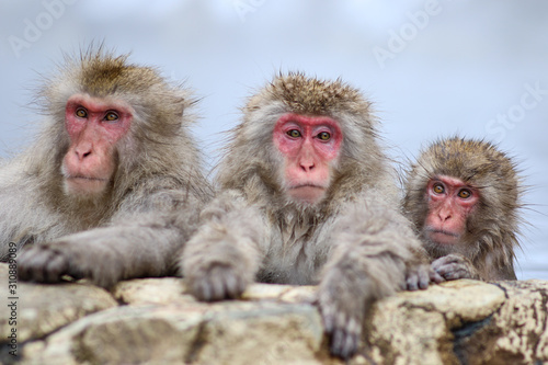 Wild monkeys at Jigokudani hotspring (Japan) Wallpaper Mural