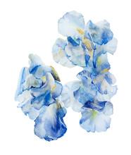 Three Light Blue Irises Original Watercolor Isplated On White Background