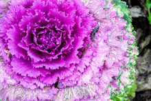 Macro Photo Of Blooming Purple Decorative Cabbage. Acephala Or Brassica Oleracea Decorative. Close-up, Top View.