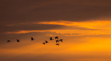 Silhouette Of Flying Wild Gees...
