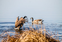 Canada Goose Warding Others Away From A Nest. Frank Lake, Alberta, Canada