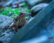Selective Focus Closeup Of A Small Slimy Frog Sitting On A Rock Under A Blue Light