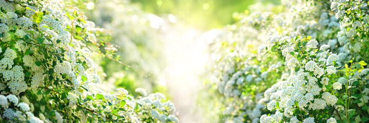 Spring white flowers on gentle nature background with beautiful light bokeh. elegant floral background. artistic landscape view. banner. copy space. template for design
