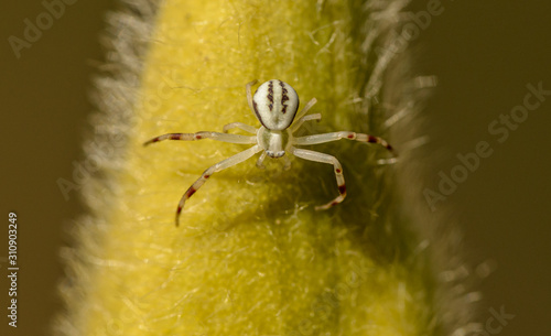 white goldenrod or flower crab spider (Misumena vatia) on a big hairy flower bud Canvas Print