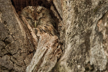 A Tawny Owl (strix Aluco) Sleeps Well Camouflaged In A Knothole In A Dead Old Oak Tree. Wildlife Concept.
