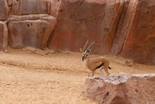 Gazelle Thomson. Beautiful Ant...
