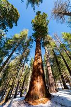 Sequoia Trees Yosemite