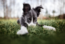 Funny Border Collie Puppy Hidi...
