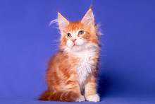 Adorable Cute Maine Coon Kitten On Blue Background In Studio, Isolated.