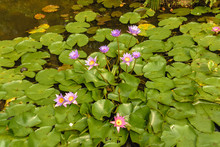 A Cluster Of Water Lilies In Pond Covered By Lotus Leaves