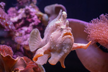 Frogfish Tropical Fish In Eila...