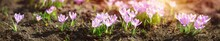 Panoramic View To Spring Flowe...