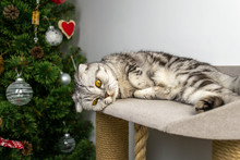 Cat Lies In A Toy House, Stared Into Space, Folded His Paws, Tired, Distant. Sad Gray Domestic Scottish Fold.
