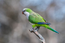 Parakeet Perched On A Branch Of Calden , La Pampa, Patagonia, Argentina