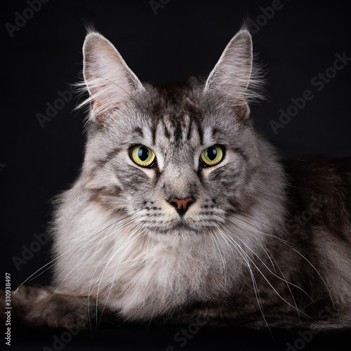 Photographie  Head of a Handsome Black Silver Mackerel Tabby Maine Coon cat looking straight a