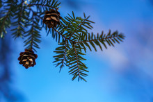 Pine Cones Hang On A Branch In...